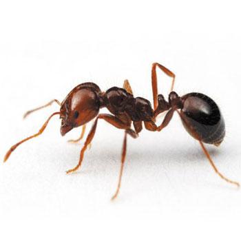 تحقیق الگوريتم بهينه سازی كلونی مورچه ها