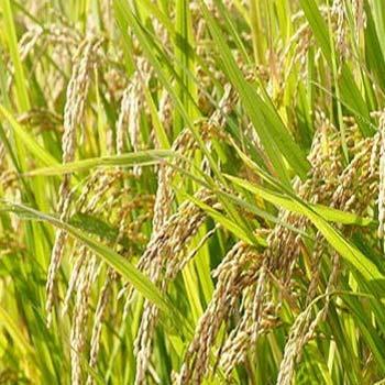 مقاله بهینه سازی استخراج ملاتونین از دانه های برنج قرمز