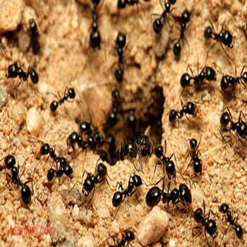 مقاله روش تشخیص لبه بر اساس بهينه سازی کلونی مورچه