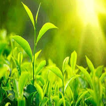 تحقیق چگونگی جابه جایی و نگهداری آهن در ساختارهای گیاهی