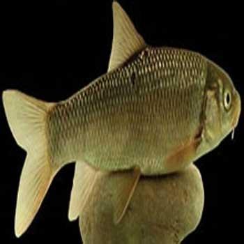 تحقیق بررسی پارامترهای پویایی جمعیت سیاه ماهی